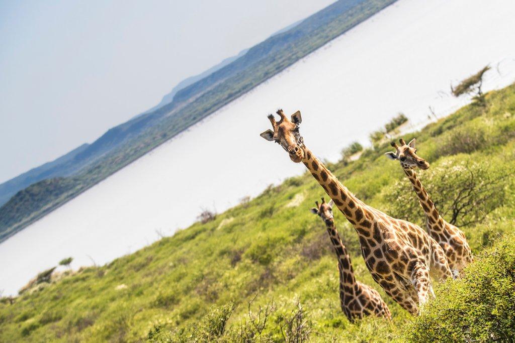 Lake Baringo Giraffes