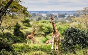 Giraffes Iten